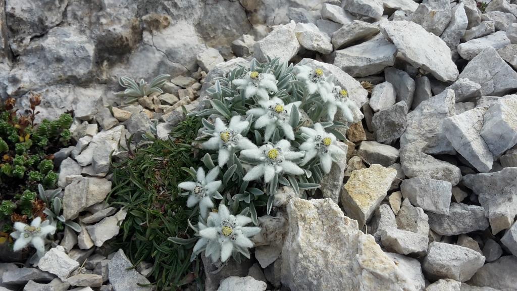 L La regina 'stella alpina'