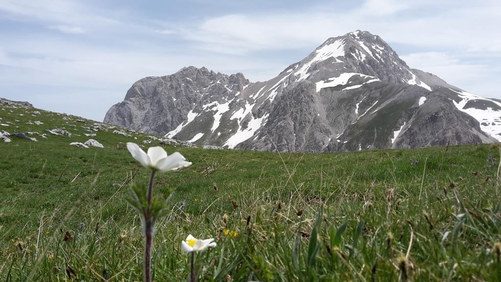 H La pulsatilla alpina