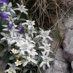 Il regno delle stelle alpine