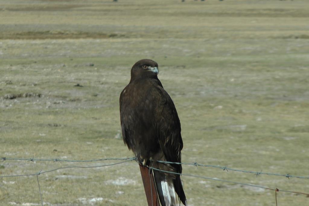 C L'Aquila del Tibet