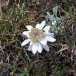 b la stella alpina appenninica (Leontopodium alpinum) (2)
